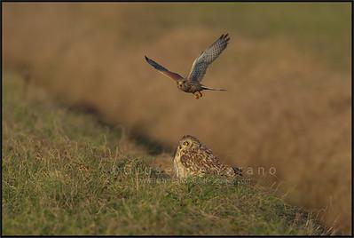 Gufo di palude - Short Eared Owl ( Asio flammeus )  Gheppio -  ( Common ) Kestrel ( Falco tinnunculus )  Giuseppe Varano - Nature and Wildlife Images - Birds and Nature Photography