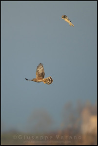 Gufo di palude - Short Eared Owl ( Asio flammeus )  Albanella Reale - Hen Harrier ( Circus cyaneus )  Giuseppe Varano - Nature and Wildlife Images - Birds and Nature Photography