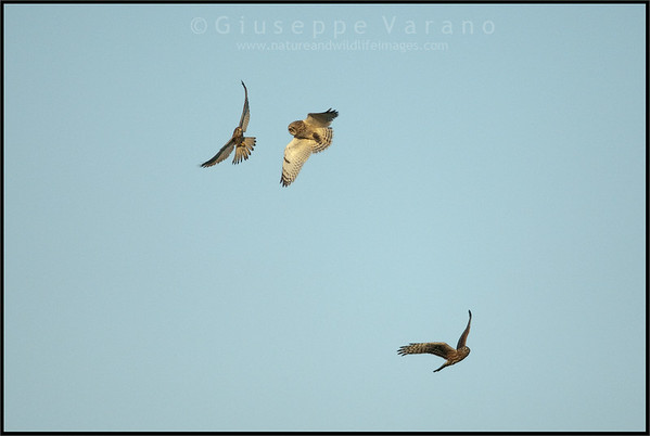 Gufo di palude - Short Eared Owl ( Asio flammeus )  Gheppio -  ( Common ) Kestrel ( Falco tinnunculus )  Albanella Reale - Hen Harrier ( Circus cyaneus )  Giuseppe Varano - Nature and Wildlife Images - Birds and Nature Photography