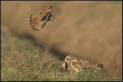 Gufo di palude - Short Eared Owl ( Asio flammeus )  Gheppio -  ( Common ) Kestrel ( Falco tinnunculus )  Giuseppe Varano - Nature and Wildlife Images - Birds and Nature Photography
