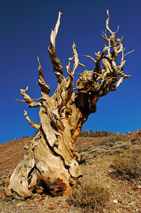 """Older than God"" - A 4,000 year old tree in the Bristlecone Pine Forest, White Mountains, CA"