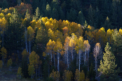 Golds and Evergreens