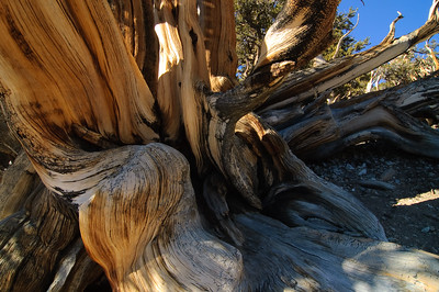 """Bristlecone Complexity"" - Bristlecone Pine Forest, White Mountains, CA"