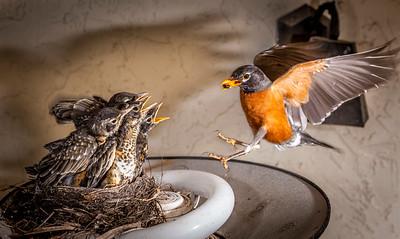 Family Robins