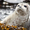 Baby Harbor Seal