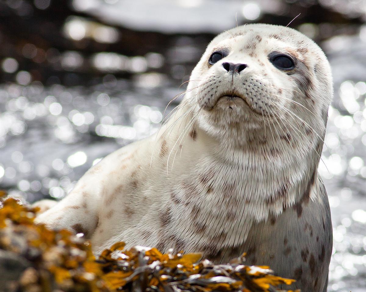 Baby Harbor Seal, Sitka, Alaska