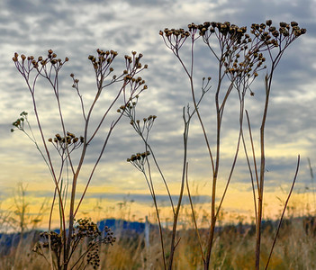 Common Tansies & Sky, Powell Butte, 2020