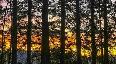 Douglas Fir at Sunset, Powell Butte, Portland, 2021