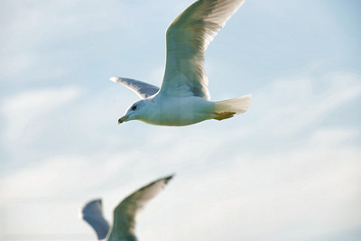 Sea Gulls In Flight 008 | Wall Art Resource