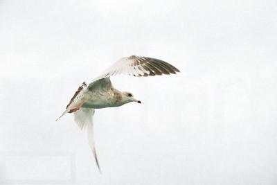 Sea Gulls In Flight 004 | Wall Art Resource