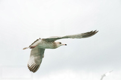 Sea Gulls In Flight 005 | Wall Art Resource