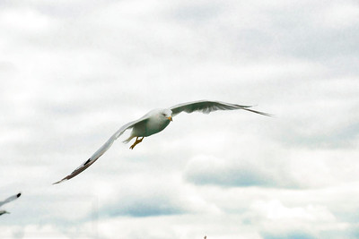 Sea Gulls In Flight 001 | Wall Art Resource