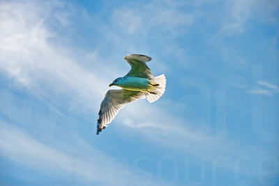 Sea Gulls In Flight 007 | Wall Art Resource