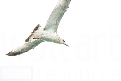 Sea Gulls In Flight 003 | Wall Art Resource
