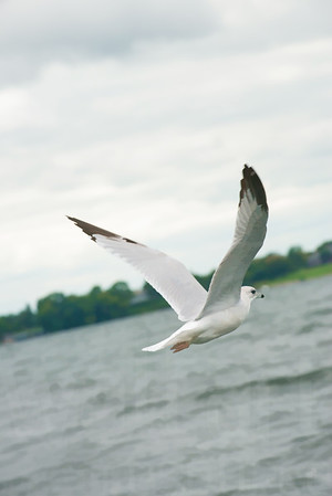 Seagulls In Flight 016 | Wall Art Resource