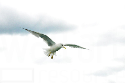 Sea Gulls In Flight 002 | Wall Art Resource