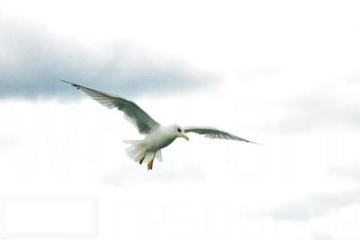 Sea Gulls In Flight 002 | Wall Art Resource