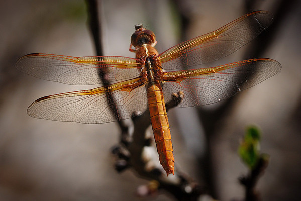 Flame Skimmer dragonfly.