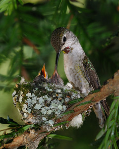 Anna's Hummingbirds, supper in a redwood tree.