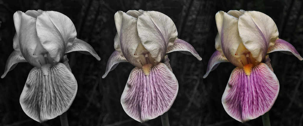 Iris Germanica, color and texture.