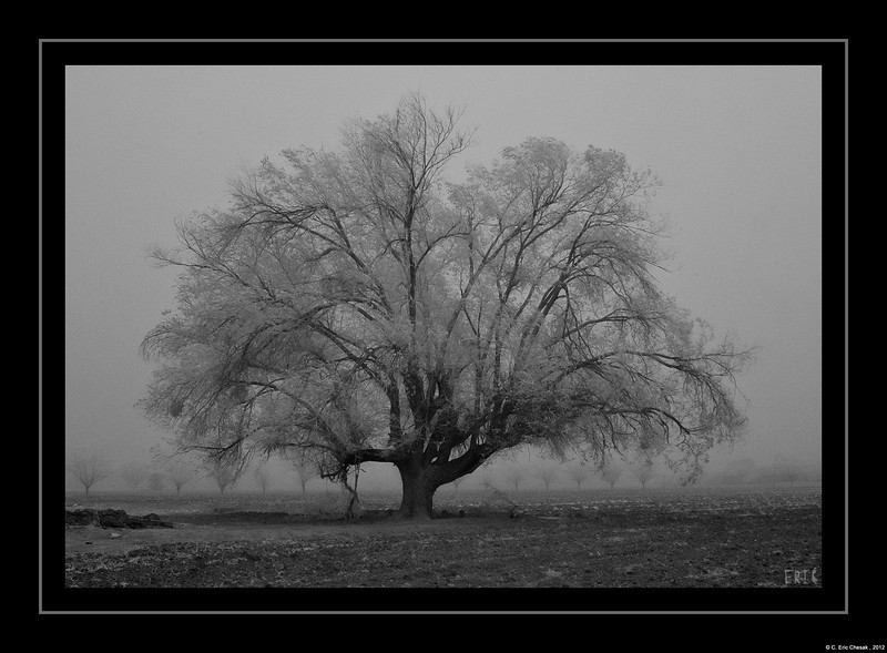Lone Cottonwood Tree, during a dust storm, In El Paso - 3/18/2012<br /> Full Spectrum Canon 300D + EF24-70 f2.8L<br /> 720nm