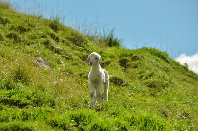 Sheep around WW I fortress on Kobla range