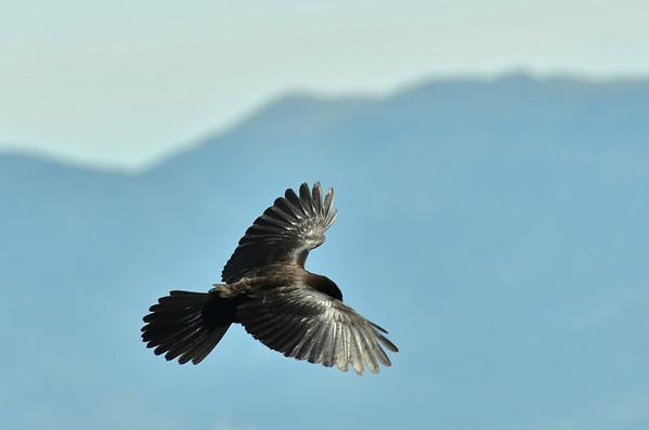 Alpine chough (Pyrrhocorax graculus), Visevnic