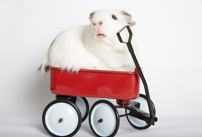Guinea Pig sized Radio Flyer