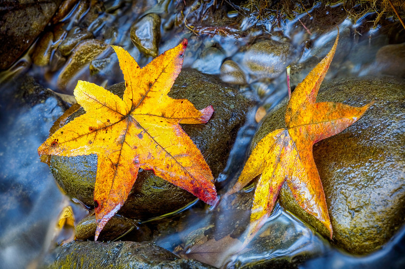 """Sweet Gum Leaves From the Great Smoky Mountains National Park. Lots more <a style=""""color: #aaccee"""" href=""""http://williambritten.com/"""">Smoky Mountains Photos</a> and info over on my blog."""