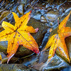 "Sweet Gum Leaves From the Great Smoky Mountains National Park. Lots more <a style=""color: #aaccee"" href=""http://williambritten.com/"">Smoky Mountains Photos</a> and info over on my blog."
