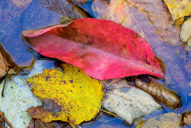 """Red Leaf All of autumn in a single leaf. This image has magical 3-D qualities when printed. Great Smoky Mountains National Park. Lots more <a style=""""color: #aaccee"""" href=""""http://williambritten.com/"""">Smoky Mountains Photos</a> and info over on my blog."""