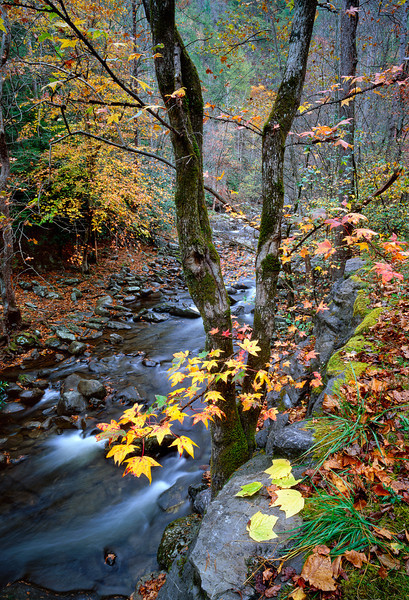 """Creekside Sweet gum My most popular image, year after year. Pairs well with Midnight Hole as a set of verticals. Great Smoky Mountains National Park Lots more <a style=""""color: #aaccee"""" href=""""http://williambritten.com/"""">Smoky Mountains Photos</a> and info over on my blog."""