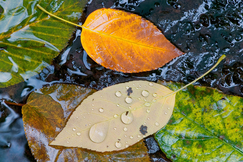 """Birch Leaves in a Stream Part of the leaf set, from the Great Smoky Mountains National Park. Lots more <a style=""""color: #aaccee"""" href=""""http://williambritten.com/"""">Smoky Mountains Photos</a> and info over on my blog."""