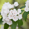 "A Natural Bouquet of  Mountain Laurel Some massive groves of Mountain Laurel can be found along the Roaring Fork Motor Trail in the Great Smoky Mountains National Park. Lots more <a style=""color: #aaccee"" href=""http://williambritten.com/"">Smoky Mountains Photos</a> and info over on my blog."