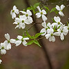 """Dogwood Harmony Another intimate view of dogwood blooms in the Great Smoky Mountains National Park. Lots more <a style=""""color: #aaccee"""" href=""""http://williambritten.com/"""">Smoky Mountains Photos</a> and info over on my blog."""