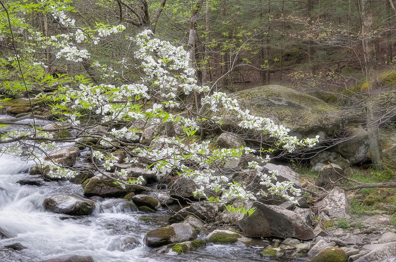 """Dogwood Time This is the horizontal version of the Dogwood Tapestry image.  Taken along the Middle Prong in the Tremont area of the Great Smoky Mountains National Park Lots more <a style=""""color: #aaccee"""" href=""""http://williambritten.com/"""">Smoky Mountains Photos</a> and info over on my blog."""