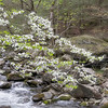 "Dogwood Time This is the horizontal version of the Dogwood Tapestry image.  Taken along the Middle Prong in the Tremont area of the Great Smoky Mountains National Park Lots more <a style=""color: #aaccee"" href=""http://williambritten.com/"">Smoky Mountains Photos</a> and info over on my blog."
