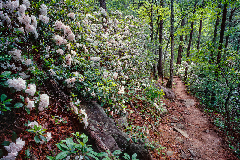 "Path to Serenity A bunch of Mountain Laurels hug the trail to Spruce Flat Falls in the Tremont section of the Great Smoky Mountains National Park. Lots more <a style=""color: #aaccee"" href=""http://williambritten.com/"">Smoky Mountains Photos</a> and info over on my blog."