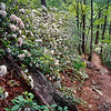 """Path to Serenity A bunch of Mountain Laurels hug the trail to Spruce Flat Falls in the Tremont section of the Great Smoky Mountains National Park. Lots more <a style=""""color: #aaccee"""" href=""""http://williambritten.com/"""">Smoky Mountains Photos</a> and info over on my blog."""