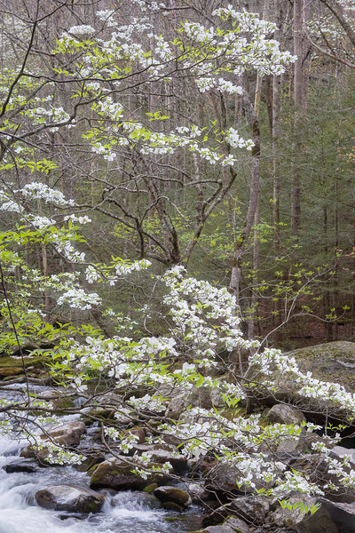 "Dogwood Tapestry The vertical cousin of Dogwood Time ... along the Middle Prong in the Tremont area of the Great Smoky Mountains National Park. Lots more <a style=""color: #aaccee"" href=""http://williambritten.com/"">Smoky Mountains Photos</a> and info over on my blog."