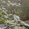 """Dogwood Tapestry The vertical cousin of Dogwood Time ... along the Middle Prong in the Tremont area of the Great Smoky Mountains National Park. Lots more <a style=""""color: #aaccee"""" href=""""http://williambritten.com/"""">Smoky Mountains Photos</a> and info over on my blog."""