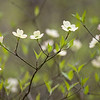 "Dogwood Lullaby Close-up moody view of dogwood blooms in the Great Smoky Mountains National Park. Lots more <a style=""color: #aaccee"" href=""http://williambritten.com/"">Smoky Mountains Photos</a> and info over on my blog."