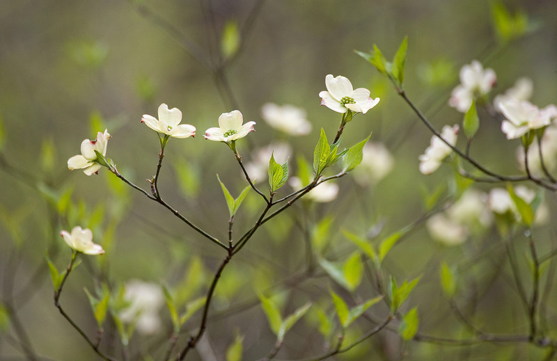 """Dogwood Lullaby Close-up moody view of dogwood blooms in the Great Smoky Mountains National Park. Lots more <a style=""""color: #aaccee"""" href=""""http://williambritten.com/"""">Smoky Mountains Photos</a> and info over on my blog."""