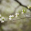 """Dogwood Whispers Dogwoods are everywhere in early April in the Great Smoky Mountains National Park. Lots more <a style=""""color: #aaccee"""" href=""""http://williambritten.com/"""">Smoky Mountains Photos</a> and info over on my blog."""
