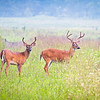"Two Bucks in Cades Cove Lots more <a style=""color: #aaccee"" href=""http://williambritten.com/"">Smoky Mountains Photos</a> and info over on my blog."