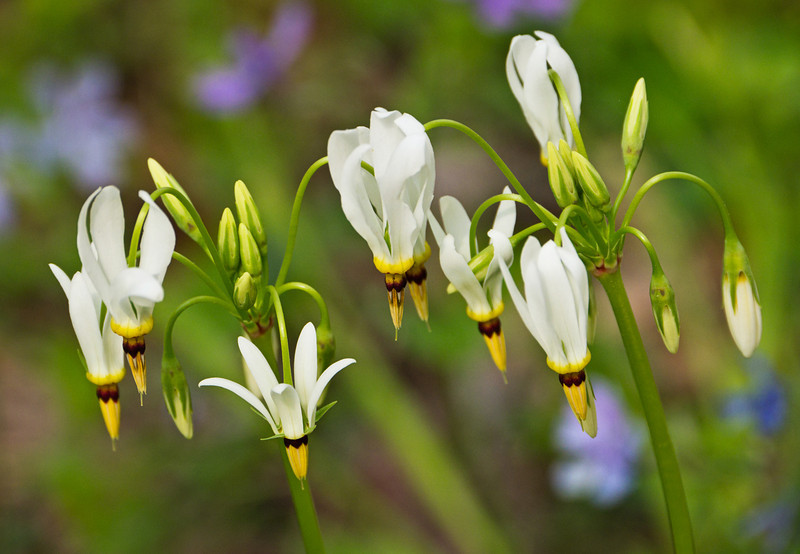 """Shooting Stars in the Smoky Mountains. Lots more  <a href=""""http://williambritten.com/wordpress/smoky-mountains/wildflowers/"""">Smoky Mountains photos of wildflowers </a> over on my blog site."""