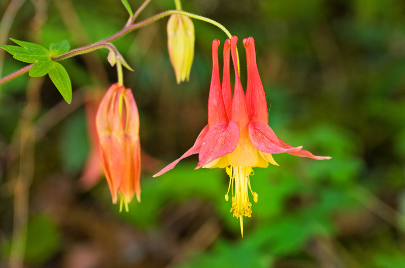 "Wild Columbine Lots more  <a href=""http://williambritten.com/wordpress/smoky-mountains/wildflowers/"">Smoky Mountains photos of wildflowers </a> over on my blog site."