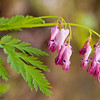 "Bleeding Heart. Lots more  <a href=""http://williambritten.com/wordpress/smoky-mountains/wildflowers/"">Smoky Mountains photos of wildflowers </a> over on my blog site."