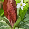"Maroon Trillium Great Smoky Mountains National Park Lots more  <a href=""http://williambritten.com/wordpress/smoky-mountains/wildflowers/"">Smoky Mountains photos of wildflowers </a> over on my blog site."