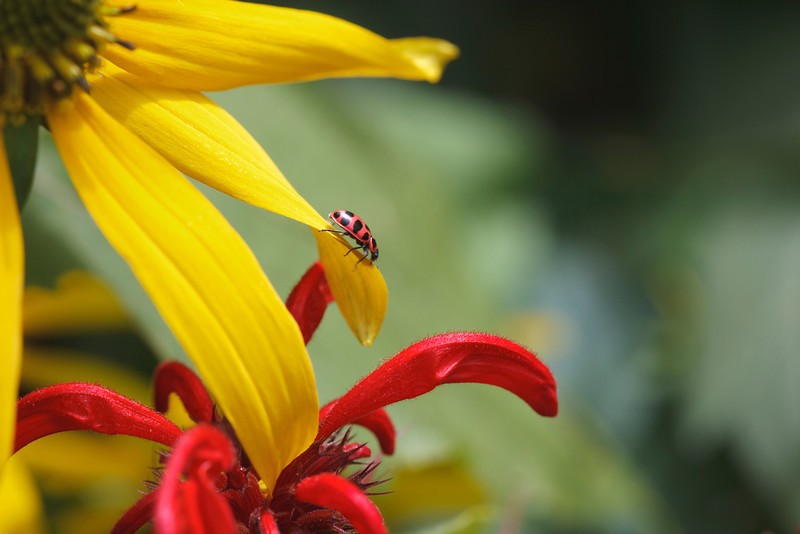 """Coneflower and Bee Balm Lots more  <a href=""""http://williambritten.com/wordpress/smoky-mountains/wildflowers/"""">Smoky Mountains photos of wildflowers </a> over on my blog site."""
